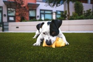 dog on artificial lawn